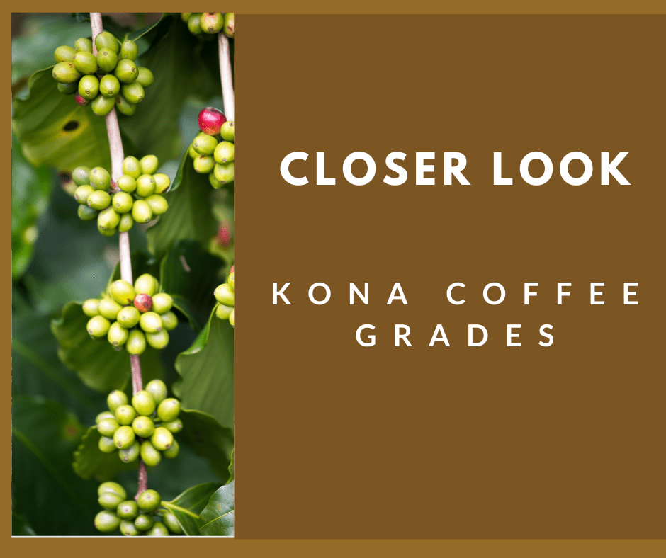 Best Kona Coffee Grades with picture of Kona coffee beans